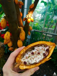 Cacao, which is what chocolate is, is grown on a tree that produces giant pods. The cacao beans are found inside these pods. 15 Stunning Photos That Prove You Have No Clue How Food Is Grown Kiwi, Bulgaria Food, Honduras Food, Ecuador, Nigeria Food, Netherlands Food, Suriname Food, Ireland Food, Mexico Food