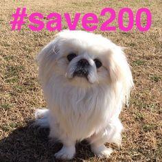 ぽぽも賛同します❗️ #save200  #山口県の2000の野犬たちを救えプロジェクト  #山口県周南市緑地公園 #ペキニーズ#ペキスタグラム#페키니즈#pekingese#dog#鼻ぺちゃ#しろペキ#犬好き#ペキスタグラム#いぬ#犬#pekistagram#dog#ふわもこ部#愛犬#わんこ