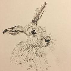 Pencil drawn Hare by Sarah Broome
