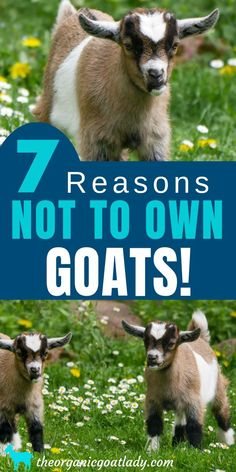 Space Requirements for Goats | Oh those goats    | Goat