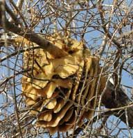 Removing Honey Bee Swarms and Established Hives B. 'Gentle Removal' avoids useless chemicals and saves bees, students can learn about this IPM method Honey Bee Swarm, Honey Bee Hives, Honey Bees, Bee Safe, Wild Bees, Worker Bee, My Honey, Wild Honey, Bee Happy