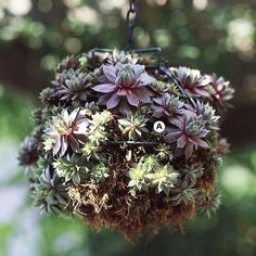 hens and chicks hanging basket