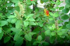 Holy Basil also called Tulsi is a nectar plant. It has multiple health benefits to cure Malaria, Typhoid, Diarrhoea, Pneumonia, Night Blindness,