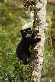 Spectacled Bear Cub