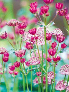 ~~Astrantia Meadow by Ella Lancaster~~