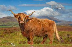 Highland Cow at Drinan. Isle of Skye. Scotland.