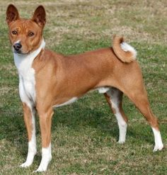 Image result for basenji