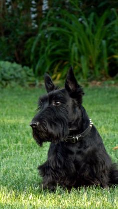 Terriers wanderlustlindsey: My dog Beauregard! What handsome guy with a handsome name! Scott Terrier, Bull Terrier Dog, Terrier Mix, Pit Dog, Best Dog Training, Training Tips, Labrador Retriever Dog, Dogs And Puppies, Chihuahua Dogs
