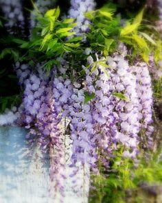 wisteria by melisa
