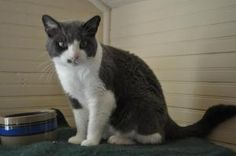 Baby is an adoptable Domestic Short Hair - Gray And White Cat in Saint Charles, MO. Hi! My name is Baby. I am a very sweet girl and I love to be pet and loved on.   http://www.petfinder.com/petdetail/21455421