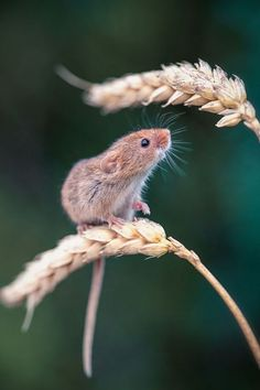 Harvest Mouse Photograph by Paul Nash : Buy Harvest Mouse, Photograph by Paul Nash on Artfinder. Discover thousands of other original paintings, prints, sculptures and photography from independent artists. Nature Animals, Animals And Pets, Wild Animals, Wildlife Photography, Animal Photography, Beautiful Creatures, Animals Beautiful, Cute Baby Animals, Funny Animals