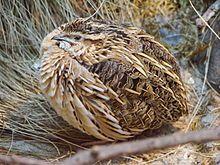 """#Wachtel Coturnix coturnix (Warsaw zoo)-1.JPG """"Die Wachtel (Coturnix coturnix) ist ein ungefähr starengroßer, im Verborgenen lebender Vogel, der in fast ganz Europa, dem westlichen Teil Asiens und einem großen Teil Afrikas vorkommt. In Europa ist sie der kleinste Hühnervogel. """" #鹌鹑 #quail #koturno (ESPERANTO)"""