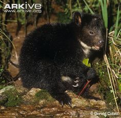 Dingiso / Bondegezou (Dendrolagus mbaiso), a species of tree-kangaroo native to western New Guinea.
