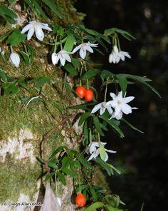 Luzuriaga radicans. Philesiaceae. Chile. Evergreen, -10C. Epiphytic, summer flower. Moist dense shade. (Photo CC Diego Alarcon A.)