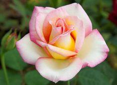 Nouvelle Rose Meilland Sweet Eureka ®