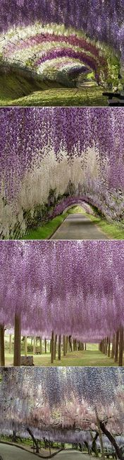 if I could I would have my wedding in the kawachi fuji garden in japan. Dreaminggg.