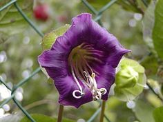Cobaea scandens Violet Catherdral Bell Cup and Saucer, Perennial, 10 Seed Packet or Bulk by SHAKERSEEDS on Etsy