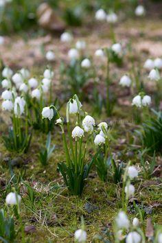 Foto: Märzenbecher zur Blüte im Frühling