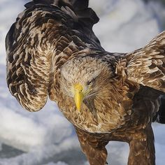 """Photo by @BrianSkerry A white-tailed sea eagle perched on offshore pack ice off of Japan's Shiretoko Peninsula. The eagles come here in search of herring…"""