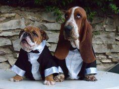 English Bulldog & Bassett Hound......Cute, Cute, Cute!!!!