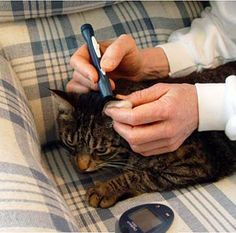 Feline Diabetes by Lisa A. Pierson, DVM :: cat diabetes, cat sugar diabetes