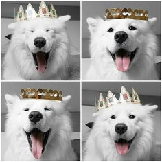 King Sammy @jedi_the_samoyed