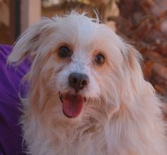 Emmett is a glowing boy who wants someone to love with all of his heart.  He has unique good looks and we believe he is a blend of Cockapoo and American Eskimo.  Emmett is 8 years of age, good with other dogs, now neutered and debuting for adoption at Nevada SPCA (www.nevadaspca.org).  Emmett may do best in a quiet home environment.  He was found abandoned at a school with no sign of responsible ownership.