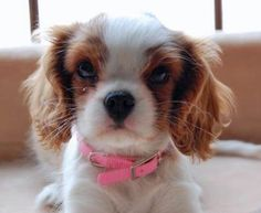 via the daily puppy  Puppy Breed: Cavalier King Charles Spaniel  Penny loves to cuddle and curl up on your lap while watching TV or taking a nap. She makes the most perfect little heating pad. Although she is a terrible beggar at the dinner table and is an absolute mooch, we still love her. You better not stop petting her or else she will paw at your hand until you start petting her again. Penny loves to go on walks with her big sister, Lacey, around the lake in our neighborhood.