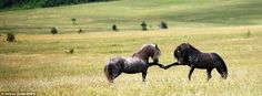 Sparring: These two ponies touch together their front hooves as they nervously jostle for position