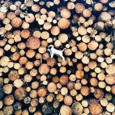 The dog's in the wood pile again...