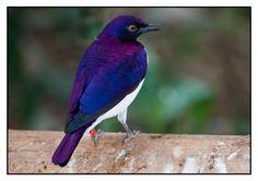 Cinnyricinclus leucogaster- Amethyst Starling