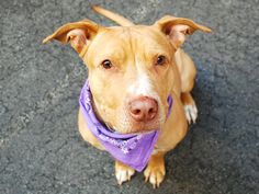 SAFE 5-9-2015  by Amsterdog Animal Rescue --- SUPER URGENT Manhattan Center HAZEL  – A1035108  FEMALE, RED / WHITE, AM PIT BULL TER MIX, 8 yrs OWNER SUR – EVALUATE, NO HOLD Reason NO TIME Intake condition EXAM REQ Intake Date 05/02/2015