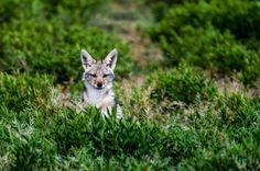 イヌ属で150年ぶりの新種見つかる | ナショナルジオグラフィック日本版サイト