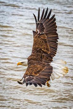 In flight - Bald eagle in flight.