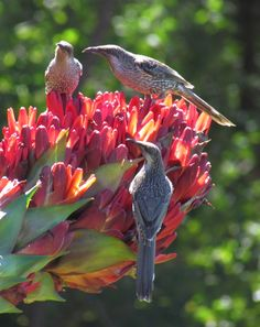 Australian Wattle Birds feast on the nectar from a Giant Spear Lily (Doryanthes excelsa). Australian Native Flowers, Australian Garden, Australian Animals, Australian Wildflowers, Bird Feeder Craft, Pictures Of Lily, Rare Birds, Indigenous Art, Birds Eye View
