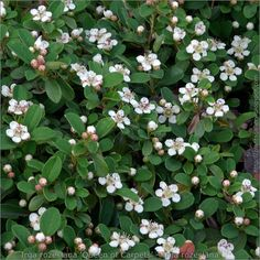 https://flic.kr/p/9HFbru | Irga rozesłana 'Queen of Carpets' - Irga rozesłana | zobacz więcej, see more : plantsgallery.blogspot.com/2011/05/cotoneaster-procumbens...