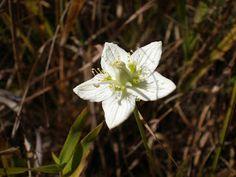 Umebachi-sou (japanese name) /  Parnassia palustris (scientific name)