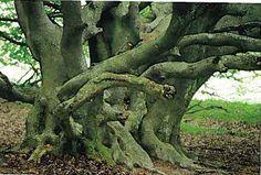 Hvass Træet - Rold Skov