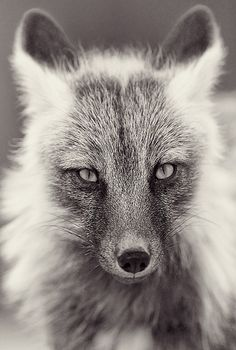 Red fox curious about the photographer   . . . .   ღTrish W ~ http://www.pinterest.com/trishw/  . . . .  #Vulpes_vulpes #mytumblr