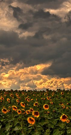 Dramatic evening sky and field of Sunflowers. Photography by Marita Toftgard