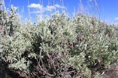 Sagebrush Plant Information: Growing Facts And Uses For Sagebrush Plants - As a poultice, it clears lungs and eases aches and pains. It was once chewed for its ability to soothe stomach problems and bowel issues.