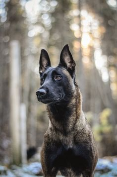 Gorgeous shot of a Belgian malinois, Instinct Photography