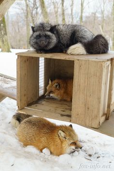 snow foxes in boxes! Most Beautiful Animals, Beautiful Creatures, Fox In Snow, Fennec, Fabulous Fox, Fox Dog, Silver Foxes, Interesting Animals, Wild Dogs