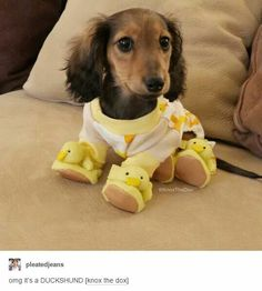 Dachshunds are easily one of the most popular dog breeds there is–known by all as the Wiener Dog. Dachshund Funny, Dachshund Love, Daschund, Dapple Dachshund, Dachshund Clothes, Long Haired Dachshund Puppies, Dogs In Clothes, Puppy Clothes, Cute Baby Animals