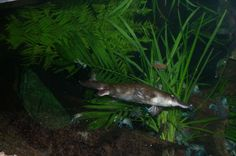 Okay this was taken at the zoo, but if you don't tell I won't! Truth And Lies, Platypus, Image, Duck Billed Platypus