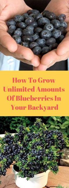 How To Grow Unlimited Amounts Of Blueberries In Your Backyard – Healthy Magazine