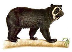 Oso de anteojos (Tremarctos ornatus). 4a de las 8 especies de osos vivientes en el planeta.
