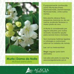 Murta-de Cheiro ou Dama da Noite – utilizada como arvoreta, cerca-viva ou bonsai | Blog Jardinices