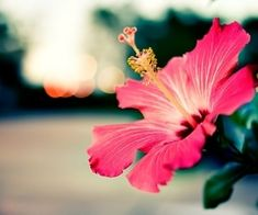 Hibiscus~another favorite flower of mine
