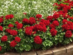 Pelargon, Pelargonium 'Calliope Dark Red' med sina mörkröda blommor är även känd som kärlekspelargon. Halvhängande och rikblommande.